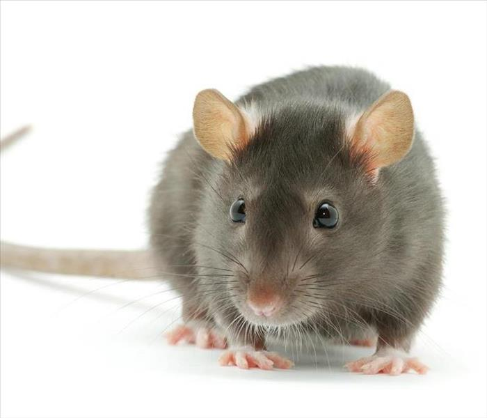 Fire Damage Home Safety:  Rodent are a fire hazard too